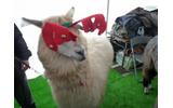超可愛い!幕張でアルパカとアンゴラウサギ撮影会 ―  『牧場物語 つながる新天地』ストリートプロモーションの画像