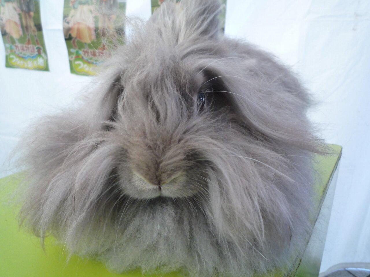 アンゴラウサギの画像 p1_22