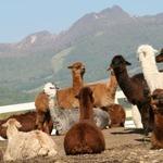 『牧場物語 はじまりの大地』発売記念、「那須アルパカ牧場」日帰りツアー実施