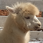 もふもふアルパカを体感!牧場物語×アルパカ牧場コラボツアーレポート(1)