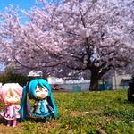 【フィグライフ!】第3回:近所の公園で桜が満開と聞いてミクさんとお散歩してきた